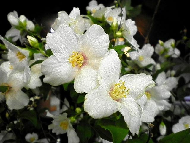 店内の季節の花 「梅花空木・バイカウツギ」・そごう徳島店を南東へ徒歩5分(駐車場完備・雑誌「七緒」「和楽」など・着物・ゆかたなどが、好きなお客様は是非一度ご覧下さいませ。)